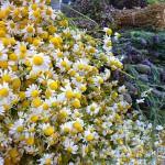 Hierbas, manzanilla, lavanda
